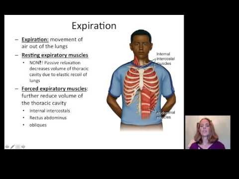 Lecture 20 Respiratory System