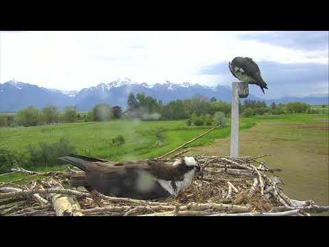 Osprey Nest - Charlo Montana Cam 05-21-2018 09:46:39 - 10:46:40