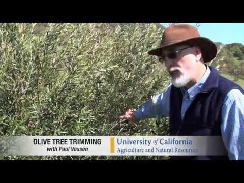 Pilot Video: Pruning A Medium Density Olive Tree