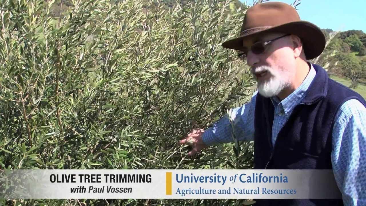 Pilot Video  Pruning A Medium Density Olive Tree