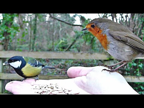Robin and Great Tit Bird - Hand Feeding Song Birds