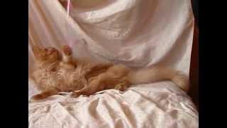 как сделать коту родословную