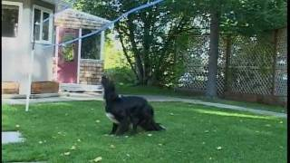 Border Collie Dog Plays Volleyball