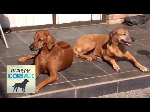 Родезийский риджбек. Планета собак 🌏 Моя Планета
