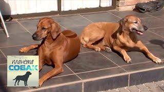 Родезийский риджбек  Планета собак