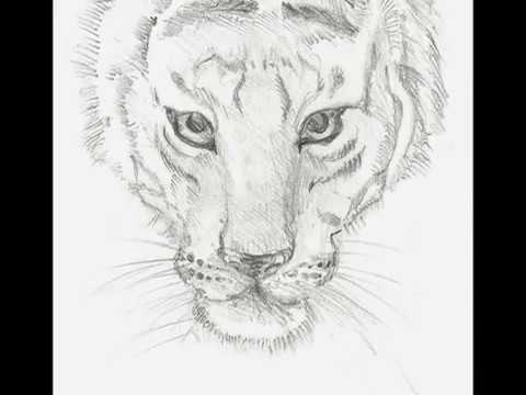 Line Drawing Of A Tiger S Face : Drawing a tiger face youtube