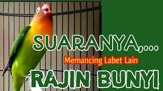 Download lagu Burung Lovebird Memanggil Disertai Ngekek, Suaranya Bisa Memancing Labet Lain Rajin Bunyi
