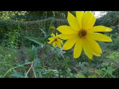 bio-TV: TOPINAMBUR  -  Erkennen - ernten - essen - Jerusalem artichoke