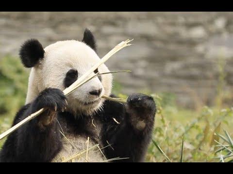 Malaysian-born Giant Panda Adapts to New Life in Southwest China