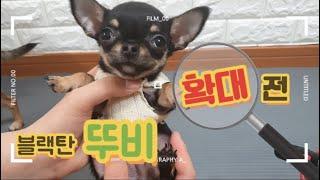 귀여운 아기 강아지 시절 뚜비의 확대 전 모습 공개 / Video from a puppy born to a dog