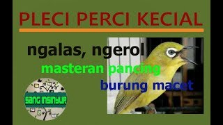 Download Mp3 Pleci Perci Kecial Super Gacor Ngalas Ngerol Masteran Burung Macet
