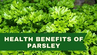 Surprising Health Benefits Of Parsley - Parsley Uses and Health Benefits | EOrganic Facts