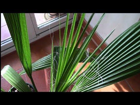 Пальма вашингтония. Как остановить рост пальмы?!