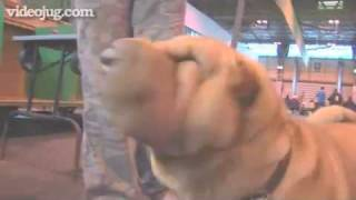 Dog Breeds: Shar Pei