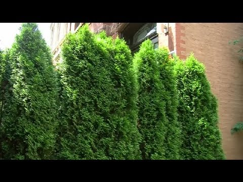 Frugal Landscaping for Back Yard Privacy : Landscaping ... on Backyard Landscaping Ideas With Trees id=95182