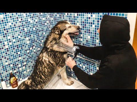придурок первый раз моет собаку