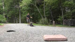 Dog Training Advance Nc - Deacon - Chocolate Lab Dog Board And Training