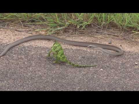Snake attacks chameleon in Kruger - surprising ending!!