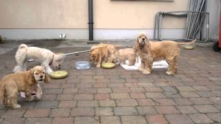 American Cocker Spaniel Puppies For Sale In Galway.