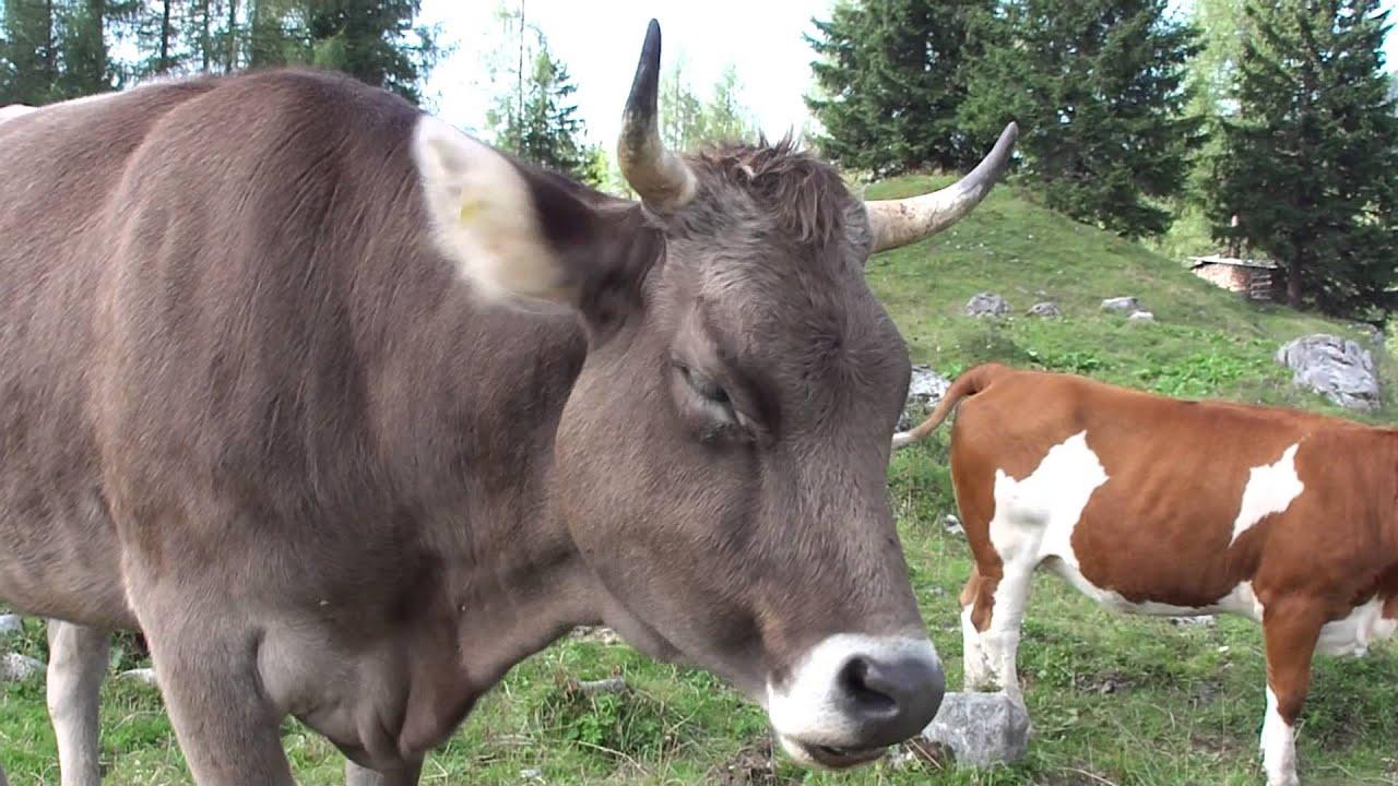 Fiese Plagegeister: Augenfliegen (Musca autumnalis) belästigen Kuh ...
