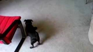 Black Pug (monty) With New Toy Gorilla