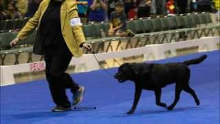 Akc Eukanuba 2013 Labrador Retriever Club Specialty Dog Show
