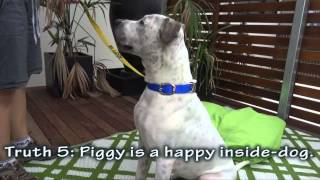 The Truth About Piggy, Adopted - Rspca Wacol, Qld