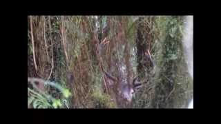 Hunting Red Stags in the Roar, West Coast, NZ