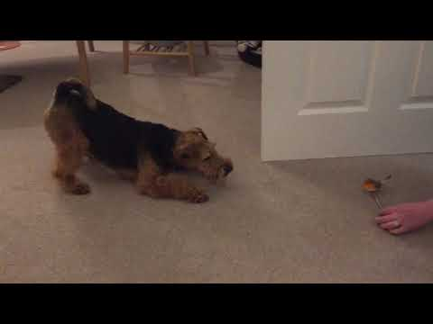 Welsh Terrier Takedown #2: Dog v Christmas Ornament