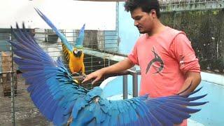 Download কবুতর এবং ম্যাকাও - Cage Bird's in Bangladesh Mp3 and Videos