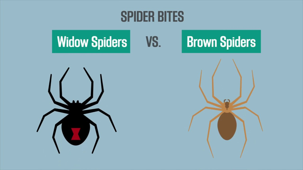Spider Bites Black Widow Vs Brown Recluse Youtube