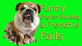 Funny English Bulldog & Frenchie Fails & Wins Compilation - Try not to laugh challenge