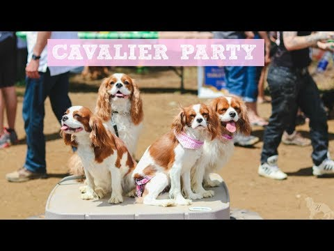 CAVALIER KING CHARLES MEETUP | Herky the Cavalier and Puppy Milton