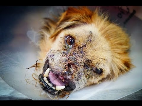 AMAZING TRANSFORMATION OF DOG THAT LOST HALF A FACE! LOOK AT HIM NOW!