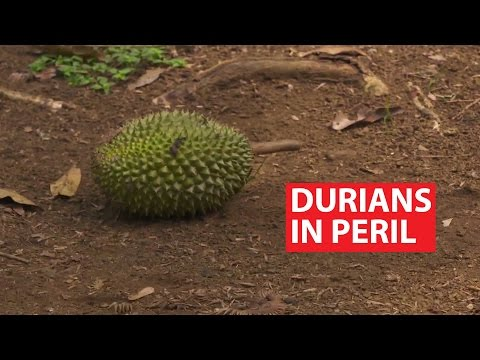 Durians in Peril | The Maritime Silk Road | CNA Insider