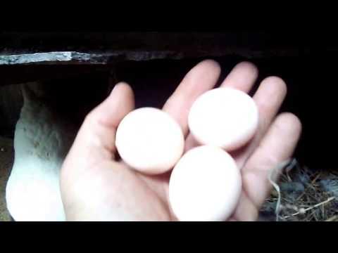 Когда куры начинают нести яйца?
