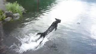 (hd) Labrador Retriever 20090730 Jump & Swim & Splash [ex-f1]