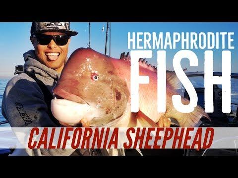 California Sheephead Fishing out of Long Beach - The Hermaphrodite Fish