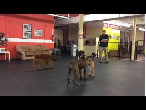 Training | Tusker's Refresher Course for Aggression, Social Skills | Solid K9 Training Dog Training