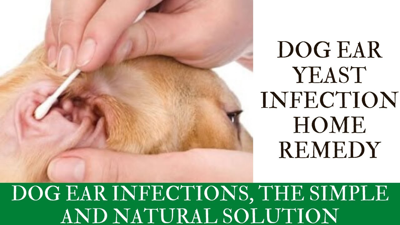 Dog Ear Yeast Infection Home Remedy Dog Ear Infections The