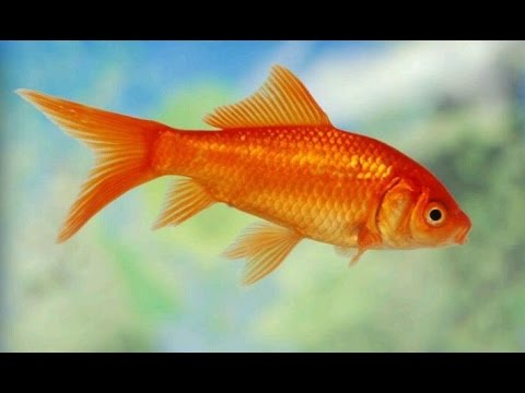 Everything About Comet Goldfish