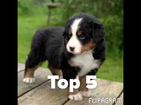 top 10 des plus beau chien du monde youtube. Black Bedroom Furniture Sets. Home Design Ideas