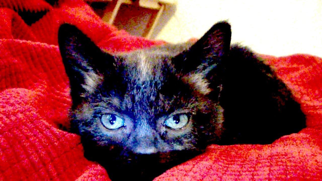 Sylvester The Cat Kitten