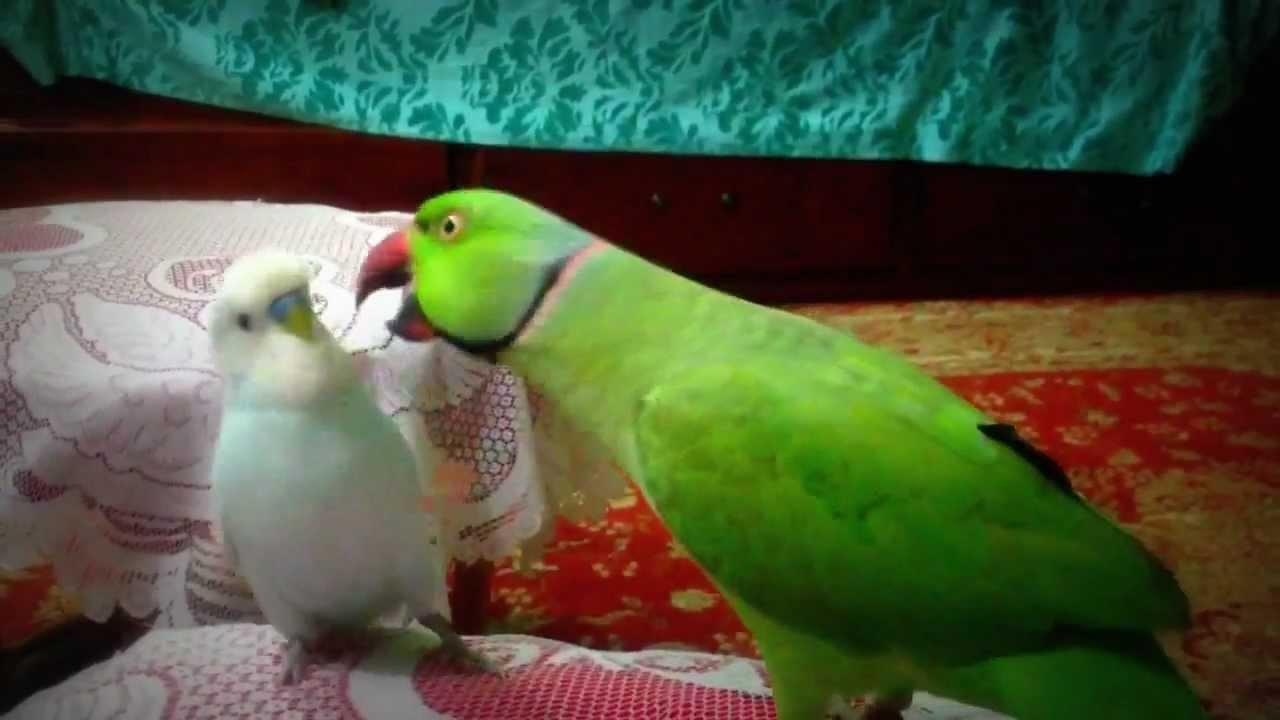 Indian ring neck parrot Pak PakMeethu and budgie Kaju