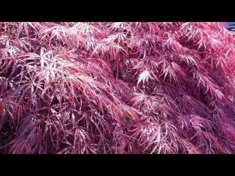 Red Laceleaf Japanese  Maple / Acer palmatum dissectum Ornatum