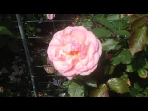 Плетистая роза Пьер де Ронсар ( Эден роуз) от Meіlland.