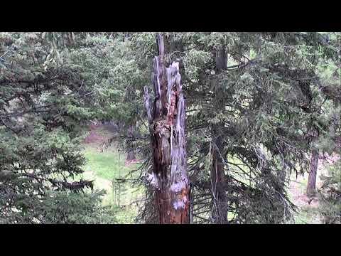 Great Gray Owl Nest Cam 05-19-2018 12:57:21 - 13:57:22