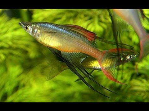 красивая аквариумная рыбка, Ириатерина Вернера, Iriatherina werneri