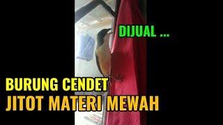 BURUNG CENDET LEPAS SANGKAR MATERI ISTIMEWA JOSS ... DIJUAL !!!