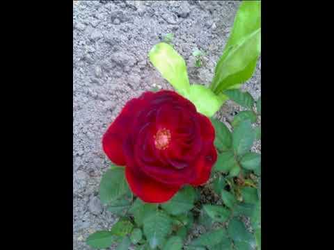 Поздравляю с Праздником Весны С 8 Марта! Цветы из моего сада для Вас.